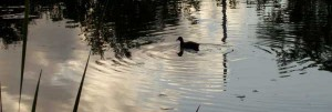 cropped-duck_pond1.jpg